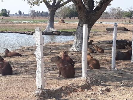 Capibari's